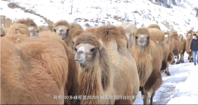 霍城为12万头牲畜转场做准备